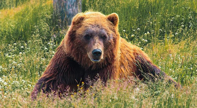 oso pardo en pirineos ordesa
